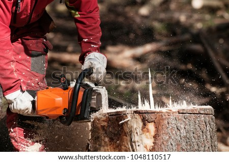 Forestry worker cutting the stump of a spruce tree with chainsaw