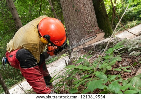Forestry worker in protective gear using a chainsaw to make a wedge cut to cut down a spruce tree, low angle
