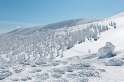 Forests of giant Juhyo (ice trees or snow monsters) on the frozen snowy mountainside under blue clear sky in Zao hot spring (onsen) & ski resort on a sunny winter day, in Yamagata, Tohoku, Japan