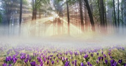 Forests of the Carpathians mountain peaks in spring full of beautiful spring flowers that grow right after snega- crocuses. Magic show and a lovely fragrance in the foggy sunny morning
