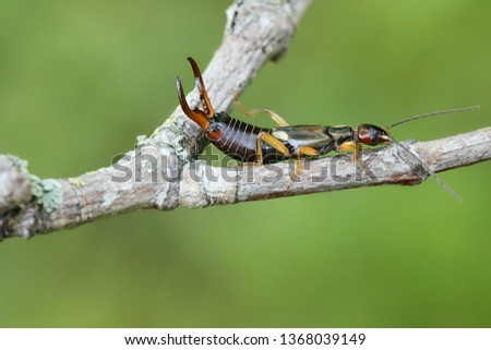 Forficula auricularia, the common earwig or European earwig