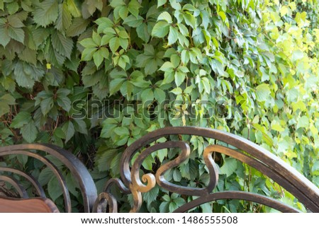 Forged bench and fence on a background of green bushes. Background from green plants. Hedge. Creative vintage background #1486555508