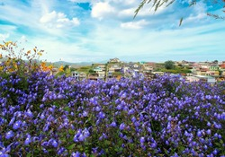 Forget me not flower field in Da Lat city.