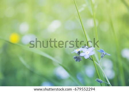 Forget me not flowers close up on green meadow, nature summer background. #679552294