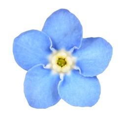Forget-me-not Light Blue Flower Isolated on White Background. Myosotis arvensis Macro
