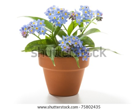 Forget-Me-Not small beautiful flowers in flower pot