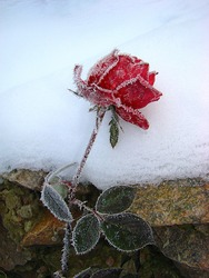 Forgotten flower painting the roses covered with cold needles of frost
