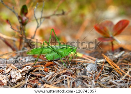 Fork-tailed Bush Katydid (Scudderia furcata) in the Northern Highland American Legion State Forest of Wisconsin