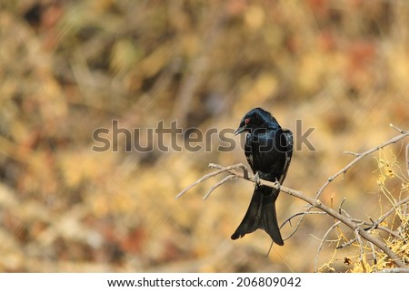 Fork-tailed Drongo - African Wild Bird Background - Perched Perfection