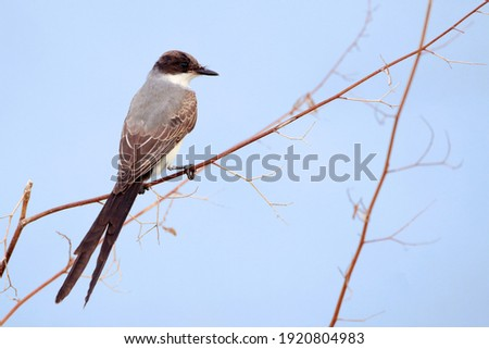Fork-tailed Flycatcher (Tyrannus savana) perched on a scribble Foto stock ©