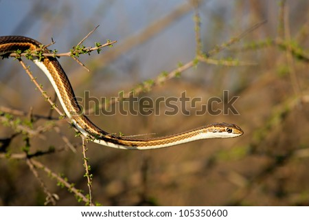 Forked-marked sand snake (Psammophis leightoni), Kalahari desert, South Africa - stock photo
