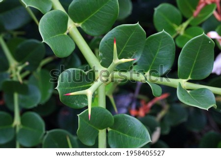 FORKED THORN OF A NATAL PLUM PLANT Stock photo ©
