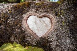 Formed heart shape on a laurel tree trunk.
