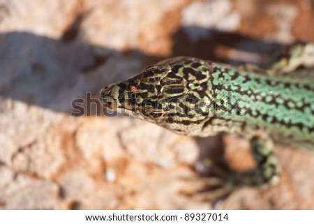 Formentera's endemic species of green lizard (Podarcis pityusensis). Balearic islands. Spain