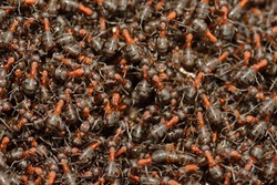 Formica rufa, also known as the red wood ant in spring