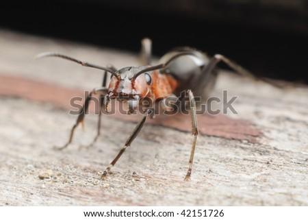 Formica rufa ant