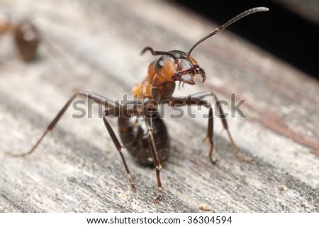 Formica rufa ant in defensive pose - stock photo