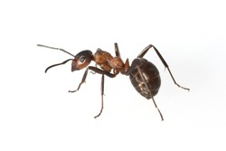 Formica; rufa; Red; wood ant
