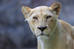 Formidable, female, white lion close-up