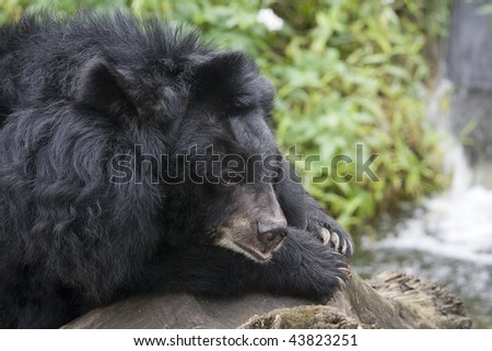 Formosan Black Bear, resting by some water.  This bear is found in Taiwan and is a subspecies of the Asiatic Black Bear.  Also known as the white throated bear.
