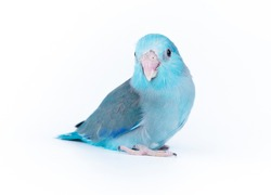 Forpus blue color isolated on white background  baby little bird parrot parakeet 1 month age