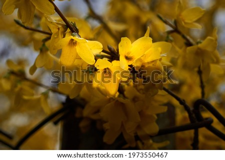 Photo of Forsythia. Blooming forsythia bush. Yellow flower on a branch of forsythia. The beauty of spring nature.