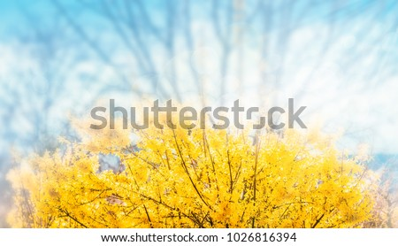 Forsythia flowers in front of with green grass and blue sky. Golden Bell, Border Forsythia (Forsythia x intermedia, europaea) blooming in spring garden bush, sun backlight.