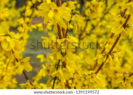 Forsythia flowers in front of with green grass and blue sky. Golden Bell, Border Forsythia.