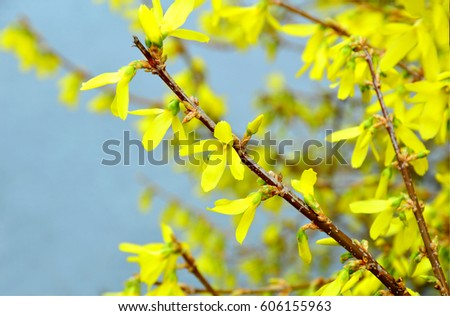 Forsythia Forsythias Are Early Bloomers Whose Yellow Flowers Signal