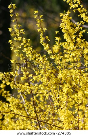 Forsythia in bloom.