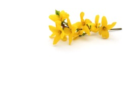 forsythia on white background