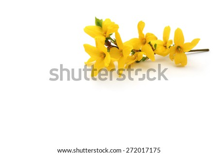 forsythia on white background #272017175