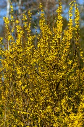 Forsythia x intermedia 'Week End'  (Courtalyn) a winter spring flowering shrub plant which has a  springtime yellow flower and leafless when in bloom stock photo image