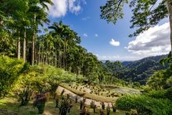 Fort de France, Martinique, FWI - Royal palm trees