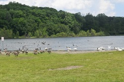 Fort Wayne, Indiana, USA - May 29 2016: Ducks and geese at a pond near the Fort Wayne Children's Zoo. Some of the birds are swimming, some are eating, and some are roosting on shore.