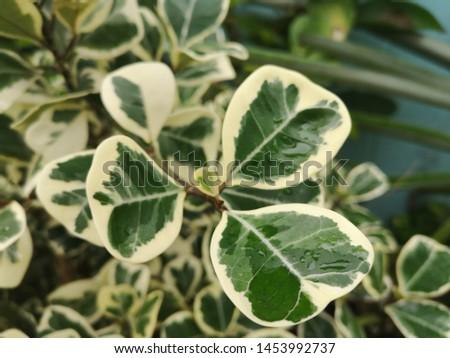Fortune's spindle, winter creeper, wintercreeper - Euonymus fortunei 'Emerald'n'Gold' Foto stock ©