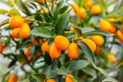Fortunella margarita Kumquats ( cumquats )  foliage and Oval fruits on kumquat  dwarf  tree.
