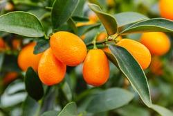 Fortunella margarita Kumquats ( or cumquats )  foliage and Oval fruits on kumquat  dwarf  tree, close up.