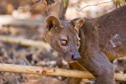 Fosa or Fossa (Cryptoprocta ferox). Endangered and endemic to Madagascar. Kirindy Forest, Kirindy, Madagascar.