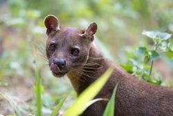 Fossa (Cryptoprocta ferox), cat-like, carnivorous mammal endemic to Madagascar,  Fossa diet includes lemurs. Andasibe, Vakona Private Reserve. Madagascar wildlife.