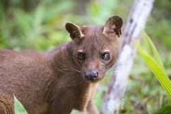 Fossa (Cryptoprocta ferox), cat-like, carnivorous mammal endemic to Madagascar,  Fossa is biggest predator for lemurs. Andasibe, Vakona Private Reserve. Madagascar wildlife and wilderness.