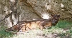 Fossa (Cryptoprocta ferox) is resting in the shadow.