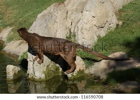 Fossa - Cryptoprocta ferox - Madagascar