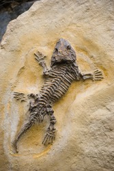 fossil Seymouria lizard