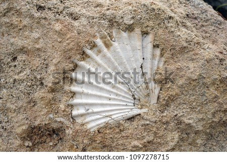 fossil shell in the rock in southern Italy,detail