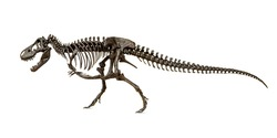 Fossil skeleton of Dinosaur Cretaceous Tyrannosaurus Rex or t-rex isolated on white background.