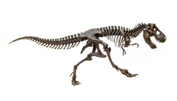 Fossil skeleton of Dinosaur king Tyrannosaurus Rex ( t-rex ) isolated on white background.