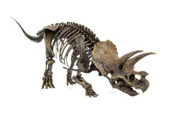 Fossil skeleton of Dinosaur three horns Triceratops ready to fight isolated on white background.