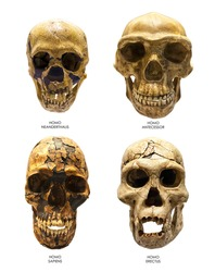 Fossil skull of Homo Erectus, Homo Sapiens, Homo Neanderthalis and Homo Antecessor. Last one is the earliest known human species in Europe.