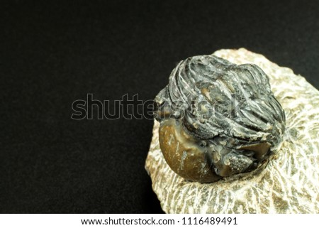 fossil trilobite imprint in the sediment. An imprint of history. Fossil trilobite in rock #1116489491